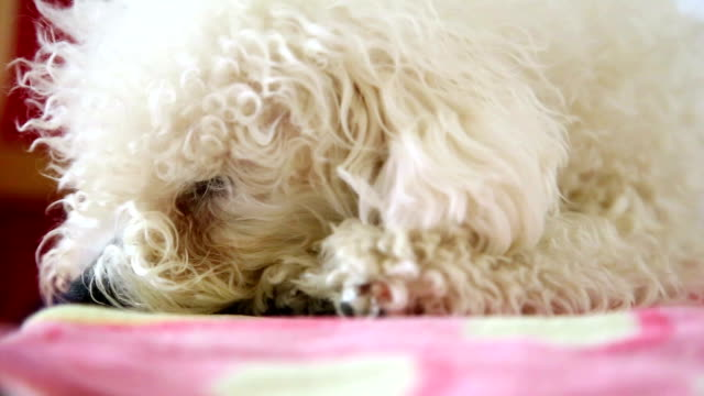 white dog - bichon frise stock videos and b-roll footage