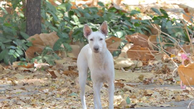 vídeos de stock, filmes e b-roll de cachorro doméstico branco latindo. - domestic animals