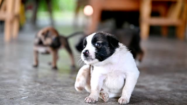 white domestic puppy sitting and scratching - overweight dog stock videos & royalty-free footage