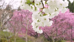 White double cherry blossoms blooming in the park