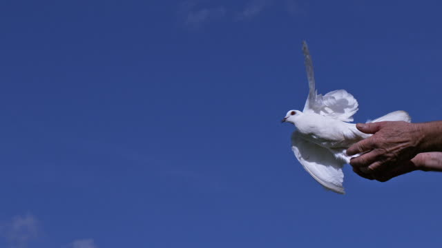 white dove, columba livia, adult in flight - loslassen aktivitäten und sport stock-videos und b-roll-filmmaterial