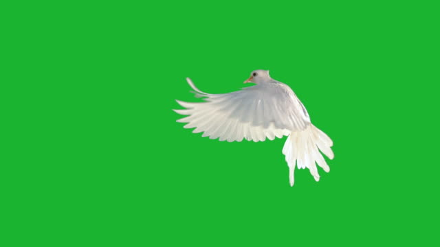 white dove fiying on green screen - heaven stock videos & royalty-free footage