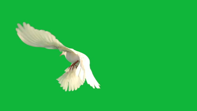 white dove fiying on green screen - symbols of peace stock videos & royalty-free footage