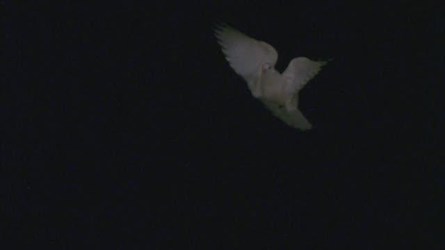 slo mo, ms, white dove flying against black background - colomba video stock e b–roll