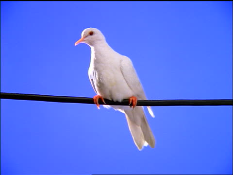 chroma key white dove sitting on wire / blue screen in background - colomba video stock e b–roll