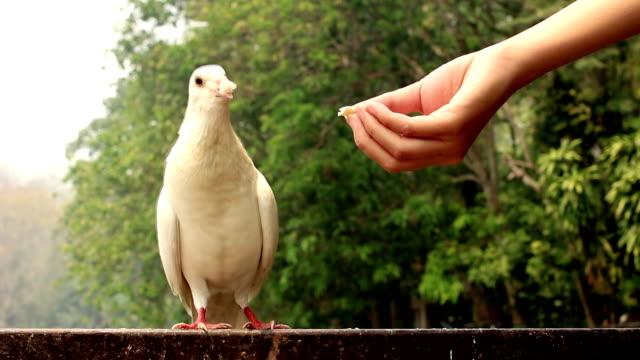 vídeos y material grabado en eventos de stock de white dove - símbolo de la paz conceptos