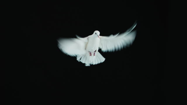 white dove - symbol stock videos & royalty-free footage