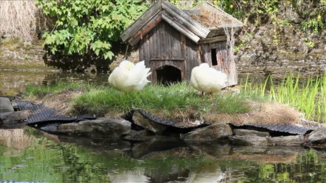vídeos de stock e filmes b-roll de pato branco no parque. - quatro animais