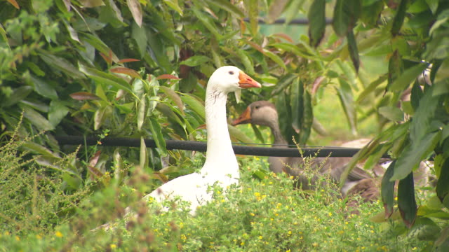 White ducks pops up from a green weed bush with little yellow flowers in a farm garden leaves vignette the frame Darker coloured geese in the...