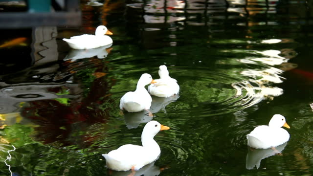 white ducks swimming