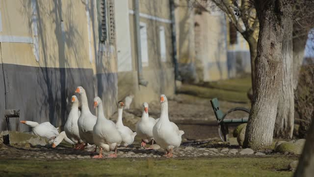 white ducks walking near a building, in the romanian countryside - transylvania stock videos & royalty-free footage