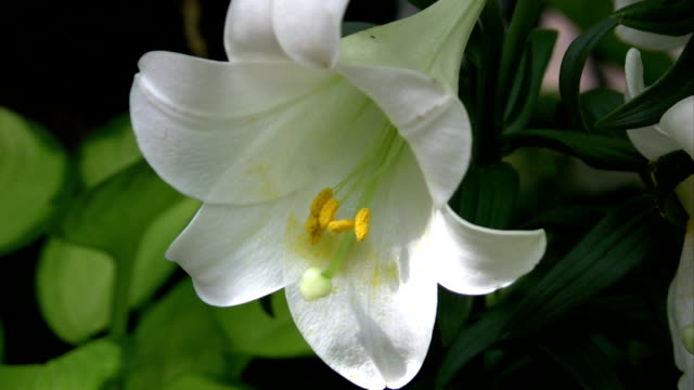 white easter or christmas lily lilium longiflorum - lily stock videos & royalty-free footage
