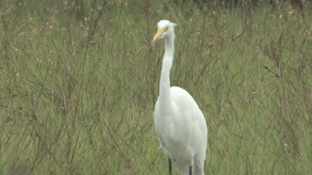 weißer reiher 108-hd-bis 30 - wasservogel stock-videos und b-roll-filmmaterial
