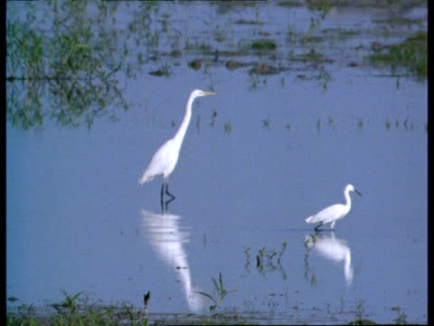ms white egret and another bird in water, india - water bird stock videos & royalty-free footage