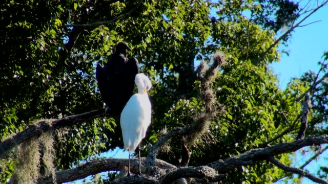 White Egret and Buzzard grooming in a tree
