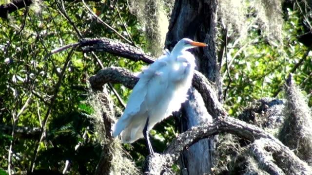 white egret ardea alba in tree on windy day - zoom out 個影片檔及 b 捲影像