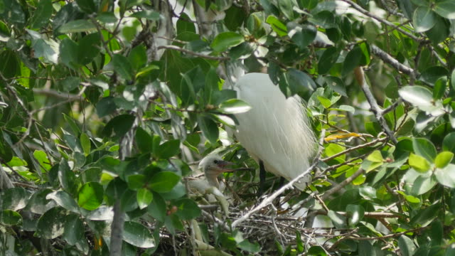 White Egret caring flapper in a nest on tree.