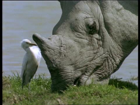 mcu white egret feeding alongside greater one-horned rhinoceros, india - 食糧を捜す点の映像素材/bロール