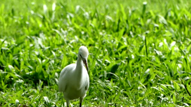 white egret in the park, bangkok - egret stock videos and b-roll footage