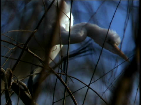 stockvideo's en b-roll-footage met a white egret is perched in a bare tree, scratching itself under the chin - bare tree