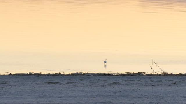 4k white egret offshore standing in pale orange colored rippling water at dusk in the salton sea - インペリアルバレー点の映像素材/bロール