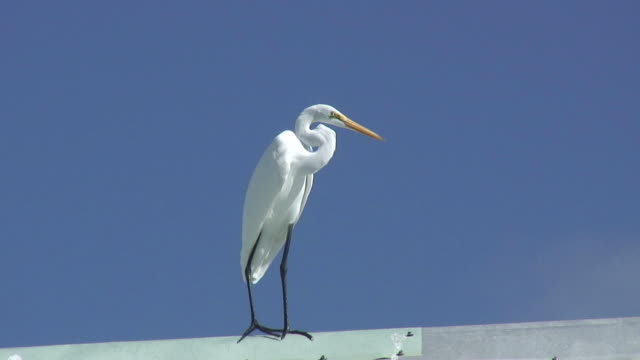 white egret on blue 1 - hd 60i - egret stock videos & royalty-free footage