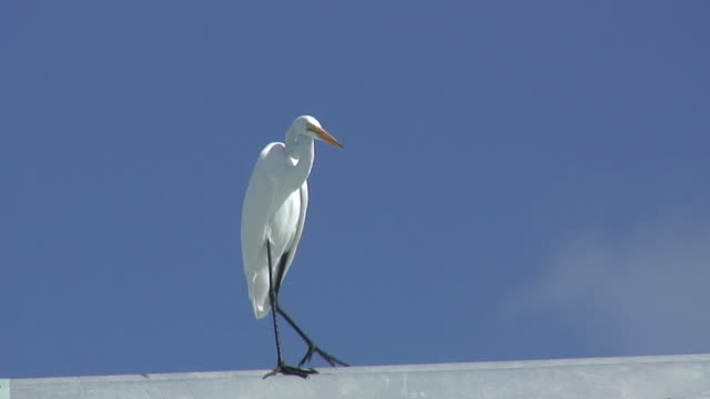 white egret on blue 2 - hd 60i - egret stock videos & royalty-free footage