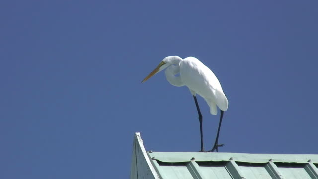 white egret on blue 3 - hd 60i - great egret stock videos & royalty-free footage