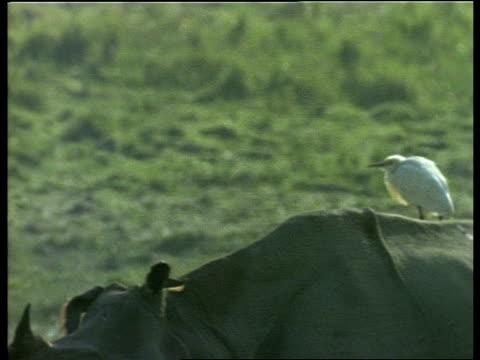 ms white egret sitting on rhinos back as it walks through frame, india - piggyback stock videos & royalty-free footage