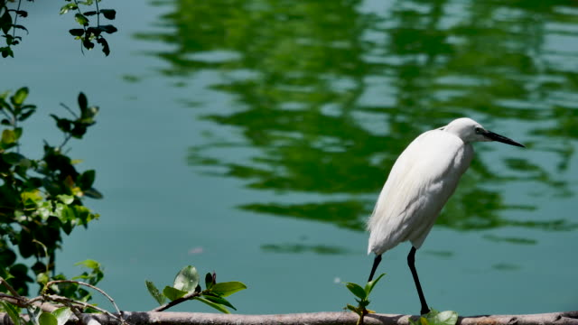 white egret standing on branches of tree - egret stock videos & royalty-free footage