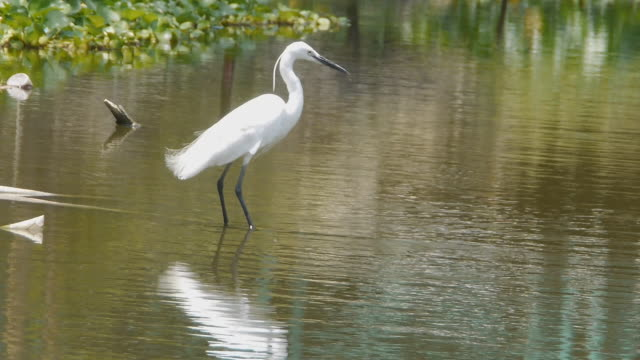 white egret - egret stock videos and b-roll footage