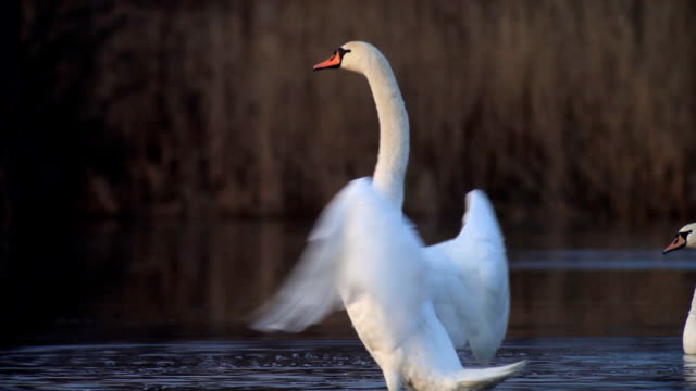 white elegant swan. - swan stock videos and b-roll footage