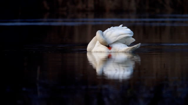 White elegant swan.