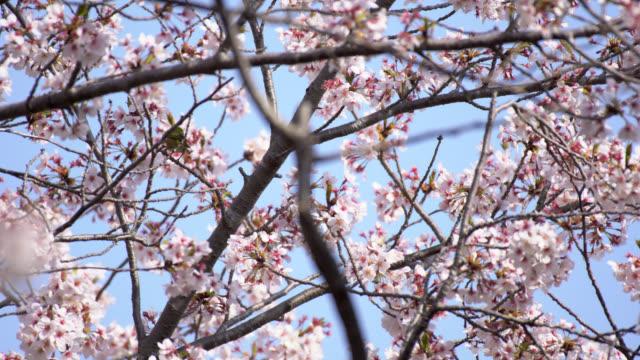 white eye bird enjoying cherry blossom in japan. - hamamatsu stock videos and b-roll footage