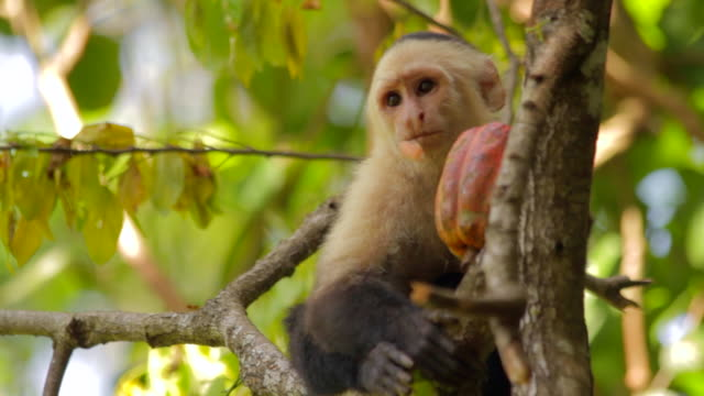 white faced capuchin eating in a tree - crop stock videos & royalty-free footage