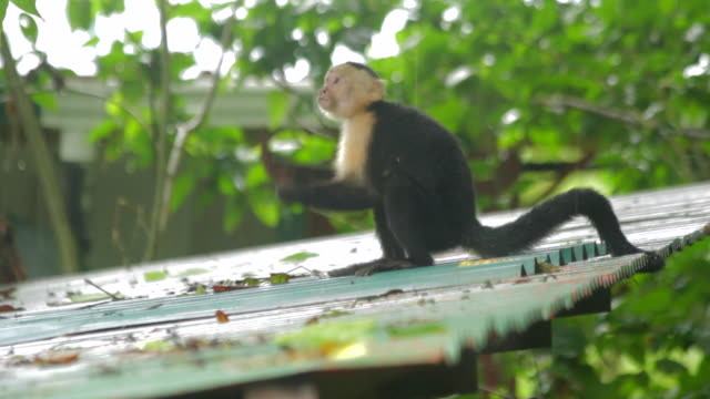 White Faced Capuchin Monkeys on a Roof