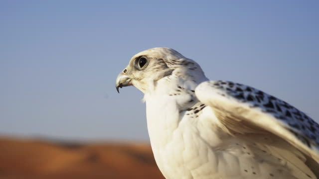 vídeos de stock e filmes b-roll de white falcon spreads wings in desert, close up - bico
