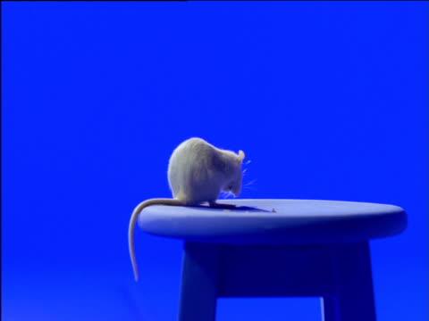 White fancy rat grooms itself on stool