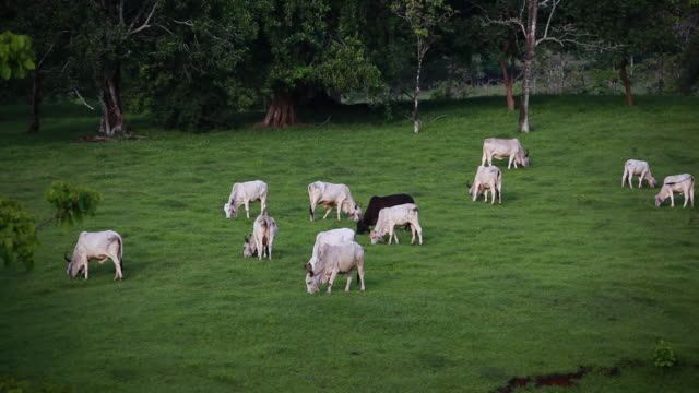 ms white female cows and black male cow feeding in a pasture and one baby cow starts to wander off / cobano, puntarenas, costa rica - kelly mason videos 個影片檔及 b 捲影像