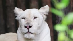 White female lion - close-up