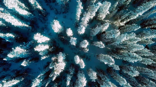 white field of a snow forest ,aerial view - pine tree stock videos & royalty-free footage