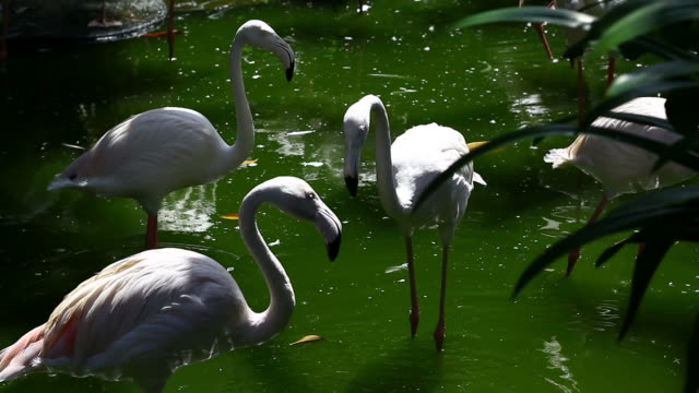 vídeos de stock, filmes e b-roll de branco flamingo luta - zoologia