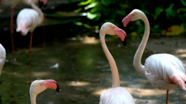 slo mo white flamingo - standing out from the crowd stock videos & royalty-free footage