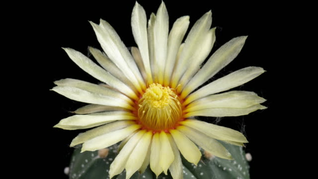 white flower astrophytum time-lapse - flowering cactus stock videos & royalty-free footage