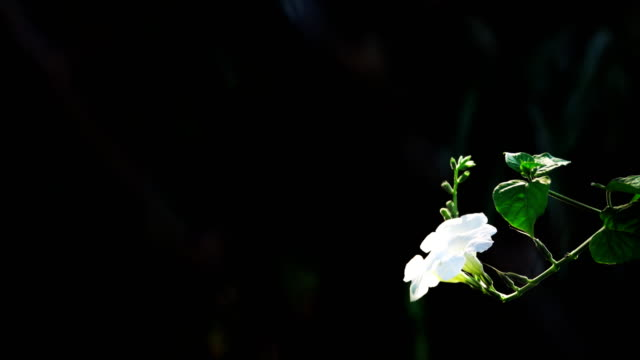 white flower in garden - tropical flower stock videos and b-roll footage