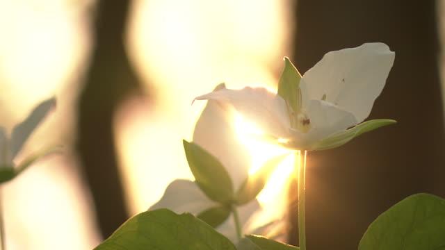 vídeos de stock e filmes b-roll de white flower in sunlight, hokkaido, japan - trílio