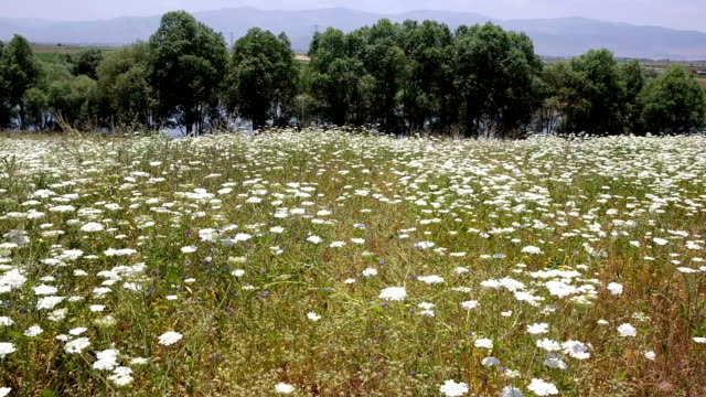 white flowers field - daisy stock videos & royalty-free footage
