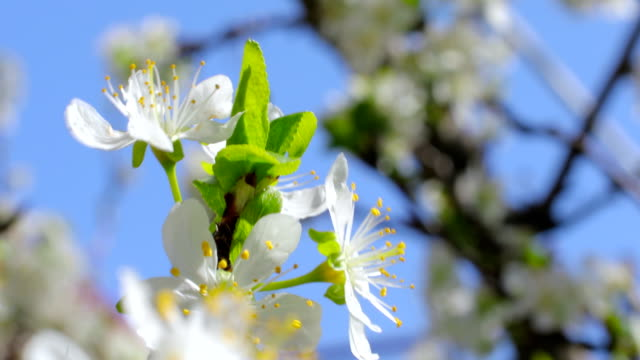 white flowers of the cherry blossoms - swaying stock videos & royalty-free footage