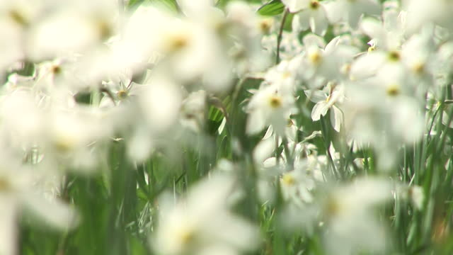 hd: white flowers - paperwhite narcissus stock videos & royalty-free footage