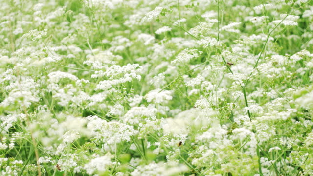 white flowes field - wildflower stock videos and b-roll footage
